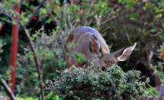 One eye peeled (TJ Gehling) Tags: mammal cervidae deer blacktaileddeer odocoileus odocoileushemionus elcerritohills elcerrito