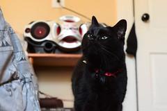 Wolfie (pilot.henry) Tags: cat black soft fuzy house collar eyes green gaze pets pet animal animals cats
