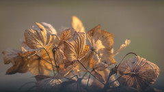 Leaf Bokeh (DC P) Tags: leaf bokeh vintage manual lens goerz series iii doppel anastigmat 210mm f45 ± 1900 dagor brass old antique canon adapter closeup close pov dof autumn winter nature fantastic soft softfocus serene colors color colorful macro veins leafs m42 doppelanastigmat large format vignette depth field