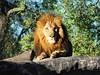 King (Daniel Guerrero Pictures) Tags: lion bless king wild life wildlife nature buschgardens tampa unitedstates estadosunidos animals animales naturaleza