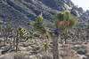 Joshua Tree National Park (Robert Borden) Tags: joshuatree desert mountains nationalpark landscape desertscape northamerica west southwest california socal 29palms twentyninepalms
