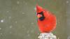 Northern Cardinal (Cardinalis cardinalis) (ER Post) Tags: bird northerncardinalcardinaliscardinalis georgetowntownship michigan unitedstates us