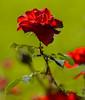 Flowers. (ost_jean) Tags: rose roos flowers bloemen fleurs nikon d5200 900 mm f28 ostjean