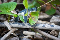 Coming Out of the Woods (jeff_a_goldberg) Tags: winter costarica turtle tortugueronationalpark tortuguero naturalhabitatadventures greenseaturtle seaturtle nathab roxana limón cr