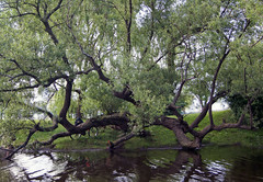 Divergence (mgalley) Tags: tree river charles boston branches limbs reflection