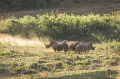 Hluhluwe–Imfolozi Park, South Africa - Rhinos (GlobeTrotter 2000) Tags: africa big kruger national south southafrica bigfive five gamedrive giants park rhinos safari tourism travel vacation visit