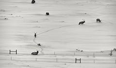 the endless march.... (Alvin Harp) Tags: evanston wyoming january 2017 elk wildlife naturelover nature winterscene snow wilderness sonyilce7rm2 fe24240mm monochrome bwwinter bw blackandwhite alvinharp
