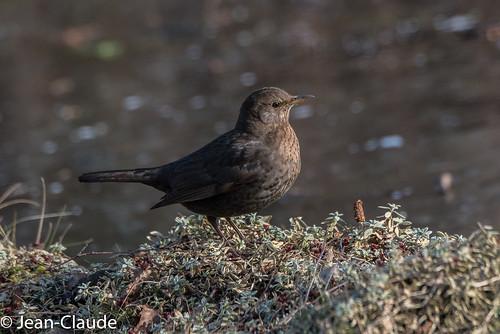 Turdus merula ♀ - Blackbird