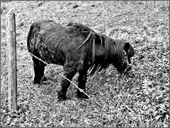 Fence Friday 03.02. 2017 (aNNa schramm) Tags: fence zaun zäune wiese tier fauna animal pony sw schwarzweis outdoor einfarbig monochrome