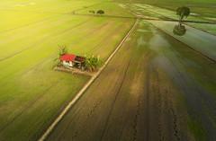 Arial View Of Paddy Field, Malacca (by nelzajamal) Tags: malacca melaka malaysia sungai rambai padi paddy field bendang sawah landscape mavic orthon arial drone hut rice sunset sunrise