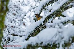 Snow Day + Birds in Tree @ 208th House - February 4th 2017 (cryptic_photos) Tags: 2016 2017 208thhouse britishcolumbia burnaby bush canada concertaddicts concertaddictscom february4 ice jamesjeffreytaylor jamietaylor kali mapleridge snowdaybirdsintree208thhousefebruary4th2017 tree birds jamie lili nia snow snowing vancouver