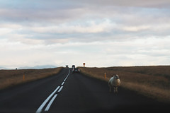 Ordinary day in Iceland (Sofia Podestà) Tags: iceland landscape ontheroad nature sheep animal wild wilderness adventure road travel summer north nordic sofia podestà sofiapodestà sofiapodesta photovogue