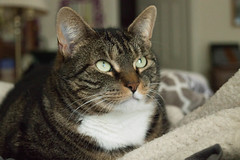 Cat in Natural Light (christinepotts) Tags: cat cats natural light tabby calico indoors