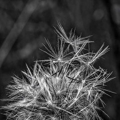Stack of fluff (docoverachiever) Tags: seeds plant macro nature squareformat fuzzy blackandwhite dandelion weed