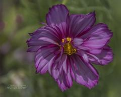 Cosmos parviflorus (ChrisKirbyCapturePhotography) Tags: cosmos cosmosparviflorus purpleflower purple flower