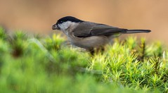 marsh tit (hardy-gjK) Tags: birds vögel tit meise oiseaux nature wildlife animals hardy nikon