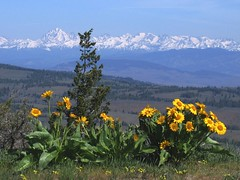 Balsamroot and Stuart Range (Mike Dole) Tags: washington cascades pacificnorthwest balsamroot centralwashington mtstuart stuartrange manastashridge