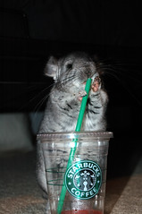 DSC_2818 (mspaint) Tags: coffee nikon d70s chinchilla starbucks dslr chin nibbler