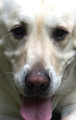 LOVABLE (Doggies Are From Heaven) Tags: dog dogs yellow lab labrador retriever addle