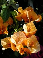 Tangerine Bougainvillea (Velveteen Swirl) Tags: flowers orange bougainvillea larchmont