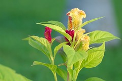 Bottlebrush (kktp_) Tags: flower nature d50 nikon bottlebrush forestfire kiss2 thecontinuum kiss3 interestingness487 i500 kiss1 kiss4 tamronspaf90mmf28dimacro11 kiss5 explore6jun06  celosiaplumosa