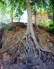 Exposed gnarly roots in Fall River Park (Martin LaBar) Tags: tree quote roots southcarolina rbol gnarly root greenville georgemacdonald fallriver raiz thecontinuum 2for2 martinlabar seriouslyedited