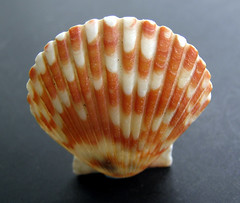 Seashell - Massachusetts (adamantine) Tags: sea orange beach capecod massachusetts shell seashell