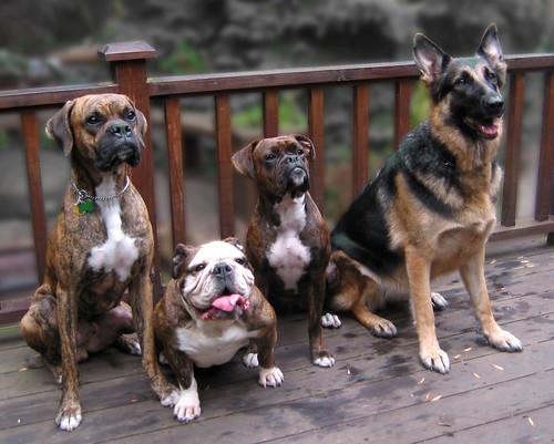 Stunning Dog Photography 17 German Shepherd Dogs Dog Files