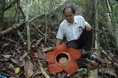 Rafflesia keithii, with Marius Gabin of Poring Hot Springs, Sabah (Bornean) Tags: flower nature flora rainforest borneo tropics rafflesia