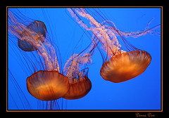 Jellyfish (Donna G. Dow) Tags: blue orange tag3 taggedout ilovenature aquarium monterey jellyfish tag2 tag1 montereyaquarium marinelife interestingness337 i500 top20colorpix brpblue