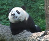 For my birfwthday, I wish for mommy lots of boo, for daddy more and more fruiwtsicles, and for me, a biggest fruitsicle with boo..an an... (somesai) Tags: panda chest tian lookup tai what nationalzoo endangered chin pandas meixiang mouthopen taishan dczoo butterstick pandaunlimited