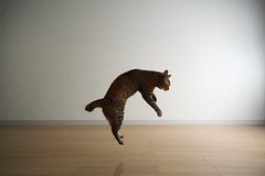 IMG_6898 (junku) Tags: cats cat canon fun eos jump jumping kitten sigma kitties 5d  kin   canoneos5d sigma1224mmf4556exdgasphsm eos5d airbornecat airbornecats