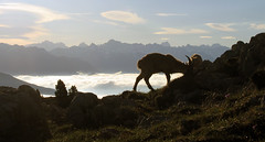 Ibex 1 (Aurélien C.) Tags: mountain animal goat planet vercors ibex