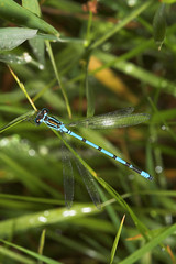 "Azure Damselfly (coenagrion puella) • <a style=""font-size:0.8em;"" href=""http://www.flickr.com/photos/57024565@N00/171949663/"" target=""_blank"">View on Flickr</a>"