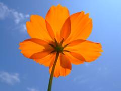 Orange in The sky (Junk8d) Tags: blue summer sky 15fav orange flower topf25 topv111 1025fav 510fav wow catchycolors interestingness topf50 topv333 topf75 500v20f topc50 topv999 100v10f topf40 topvaa 1000v40f 250v10f exploretop20