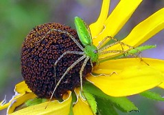 Green lynx spider on a brown eyed susan - by Leslie Kirkland