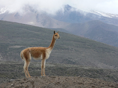 Vicuna by