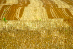 Harvested Wheat Field. (BamaWester) Tags: field tennessee wheat harvest crops agriculture wheatfield bamawester napg
