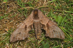 """Eyed Hawkmoth (smerinthus ocellata)(2) • <a style=""""font-size:0.8em;"""" href=""""http://www.flickr.com/photos/57024565@N00/179070904/"""" target=""""_blank"""">View on Flickr</a>"""