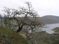 Quercus garryana (Garry Oak)