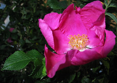 flower 72 (Sexy Swedish Babe) Tags: pink flowers rose closeup tacky dying thefactthatitis makesitalittleless