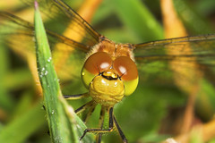 """Common Darter DragonFly (sympetrum s(39) • <a style=""""font-size:0.8em;"""" href=""""http://www.flickr.com/photos/57024565@N00/180605145/"""" target=""""_blank"""">View on Flickr</a>"""