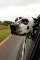 Navigator (Jocelyn Bassler) Tags: dog window car out quincy ride wind head jocelyn ears top20dogpix furryfriday flapping dalmatian jocie scoreme34 cm080 jocieposse