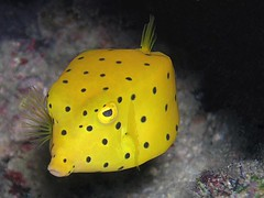 Yellow Boxfish - Redang