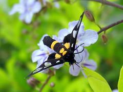 Moth (siebe ) Tags: macro nature butterfly thailand animalkingdomelite