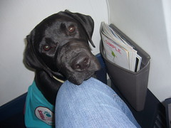 in flight (tiboutoo) Tags: trip evan vacation dog puppy michigan moose servicedog grandrapids
