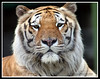 Tigre4 (LorenaSchmitt) Tags: love nature animal zoo 500v20f tiger planet tigre thegallery 50club 50clubxcalidad 250v10f animalkingdomelite 3wayassignment21 frhwofavs
