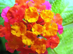 Colorful Sunday ( Graa Vargas ) Tags: 2005  flower macro topv111 colorful all rights vargas lantana reserved graa lantanacamara graavargas 98918080711 2005graavargasallrightsreserved