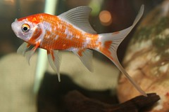 Kinguio - Japons ou Peixe-dourado - goldfish (Carassius auratus) 111 - 11 (Flvio Cruvinel Brando) Tags: brazil naturaleza fish color detail love nature colors animal animals topv111 braslia closeup brasil colorful dof close bokeh lovely1 details natureza loveit peixe fishes animais animalkingdom peixes detalhe detalhes animaladdiction