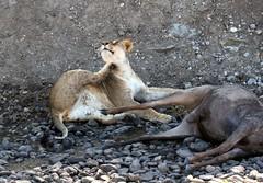 Mid Day Catch. (Picture Taker 2) Tags: africa nature animal animals cat wildlife lion bigcat wilderness plains predator mammals bigcats wildebeest wildanimals africaanimals masimarakenya